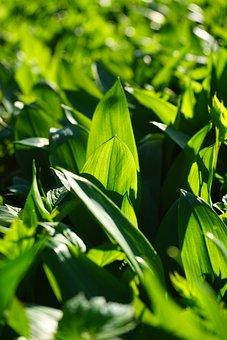 Bear's Garlic, Leaves, Allium Ursinum, Garlic Leaves