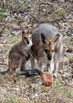 Kangaroo, Joey, Baby, Wallaby, Australia, Marsupial
