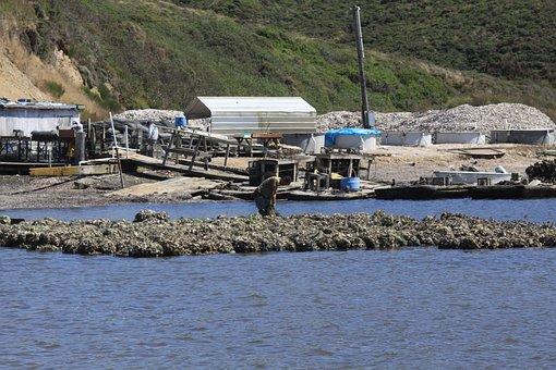 Oyster, Harvest, Bay, Farm, Ocean, Seafood