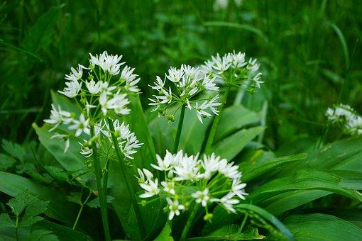 Bear's Garlic, Blossom, Bloom, Plant, White