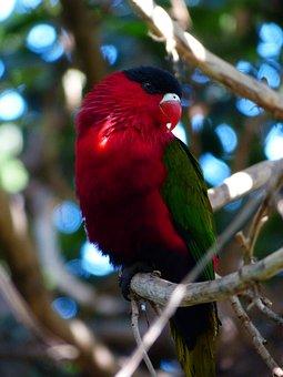 Lory, Parrot, Lori, Bird, Colorful, Red, Green, Schwazr