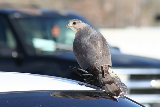 Hawk, Pigeon, Salt Lake City, Bird, Fly, Wings, Feather