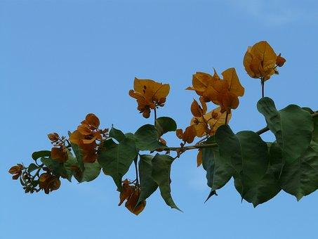 Bougainvillea, Yellow, Orange, Flower, Blossom, Bloom