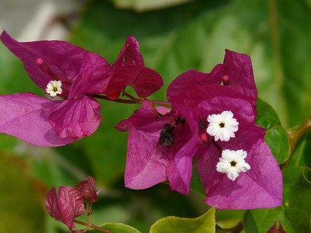 Bougainvillea, Flower, Blossom, Bloom, Pink
