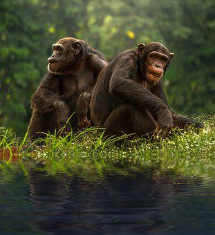 Chimp, Brown, Bonobo, Chimpanzee, Pair, Animals