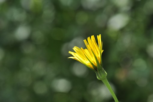 Blossom, Bloom, Yellow, Bud, Composites, Meadows Dubius