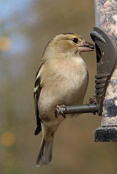Chaffinch, Garden Bird, Feeder, Garden, Bird, Wildlife