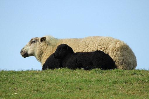Sheep, Lamb, Black And White, Cheerful, Happy, Cute
