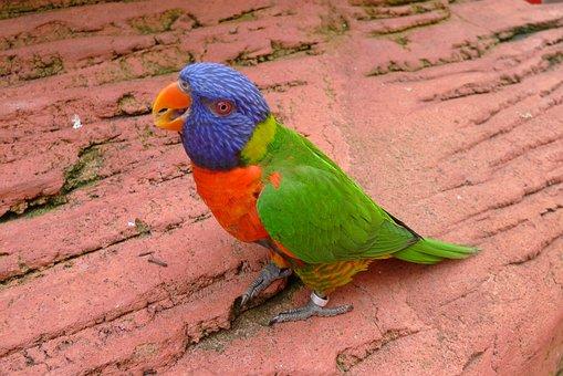 Parrot, Bird, Plumage, Colorful, Lori, Animal, Birds