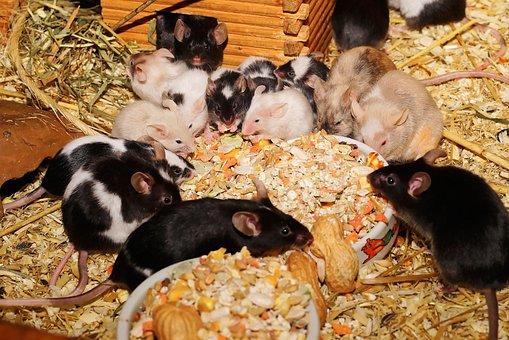 Mice, Farbmäuse, Cute, Sweet, Tame, Kulleraugen