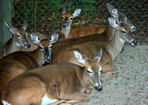 Deer, Whitetail, Resting, Tame, Herd, Wildlife, Mammal