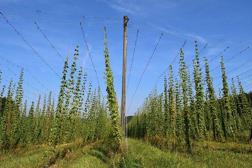 Hops, Nature, Plant, Bavaria, Beer, Harvest, Ripe, Ear