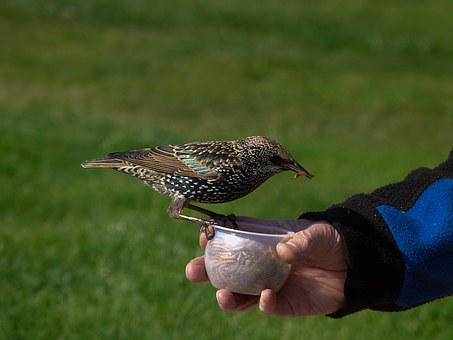 Starling, Bird, Striking, Eating, Hungry, Tame, Nature