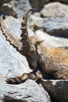 European Gemse, Relaxing, Large Antlers Horns