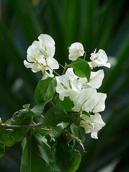 Bougainvillea, White, Flower, Blossom, Bloom