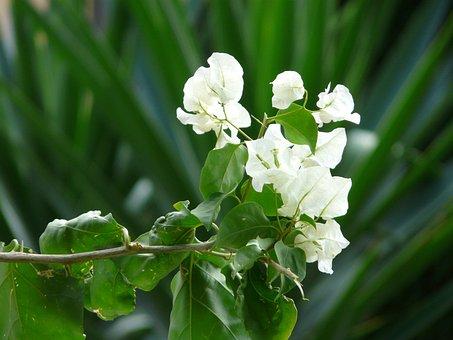 Bougainvillea, White, Flower, Blossom, Bloom, Pink
