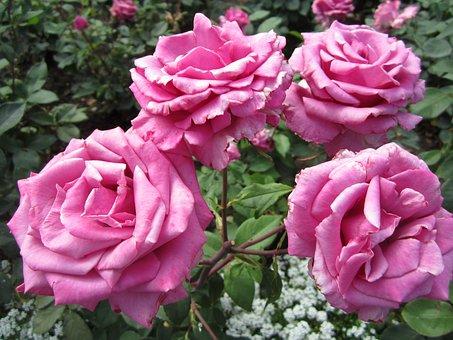 Flower, Rose, Pink, Butchart Gardens, British Columbia