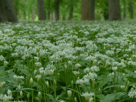 Bear's Garlic, Flowers, White, Forest, Plant