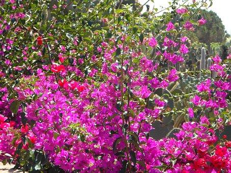 Bougainvillea, Garden, Mediterranean, Flowers