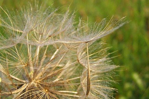 Fluff, Dandelion, Seeds, Summer, Meadow, Meadow Salsify
