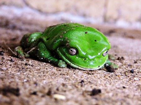 Frog, Green, Sitting, Nature, Animal, Amphibian, Eye