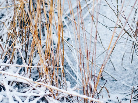 Pond, Winter, Reed, Withered, Dry, Snow, Cold, Frost
