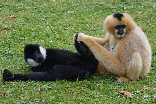 Monkeys, Mammal, Animal, Monkey, Gibbon, Flea