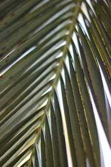 Palm Leaf, Nature, Palm, Tropical, Leaf, Green, Tree