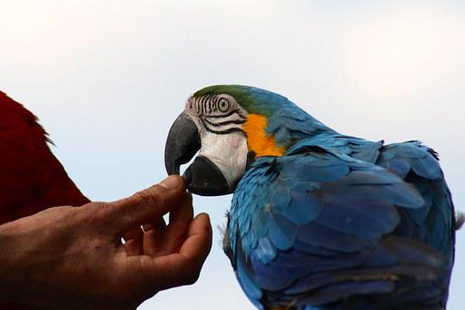 Tame Blue Macaw, Blue Parrot Feeding, Hand Fed Parrot