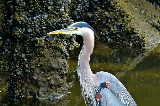 Blue Heron, Waterbird, Heron, Animal, Vancouver