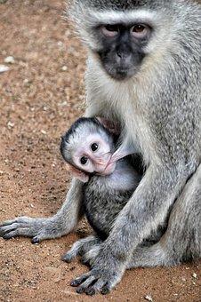 Grivet Monkey, South Africa, Kruger Park, Pocket