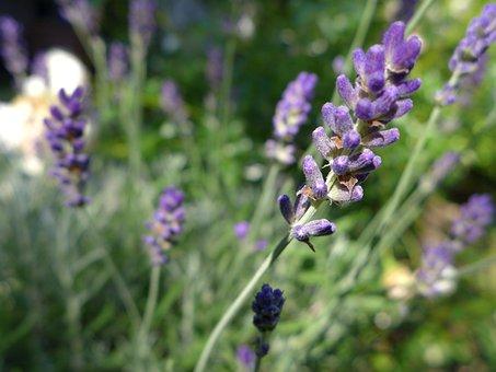Lavender, Blossom, Bloom, Branch, Lavendelbueten