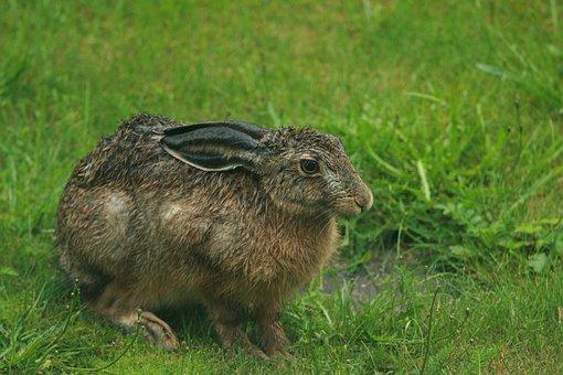 Wet Brown Hare, Home Yard, Summer, Rain, Rabbit, Lawn