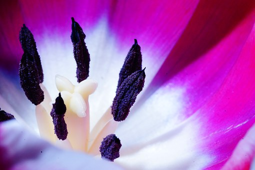 Tulip, Macro, Blossom, Bloom, Colorful, Nature, Plant