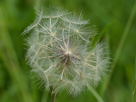 Dandelion, Infructescence, Meadows Dubius