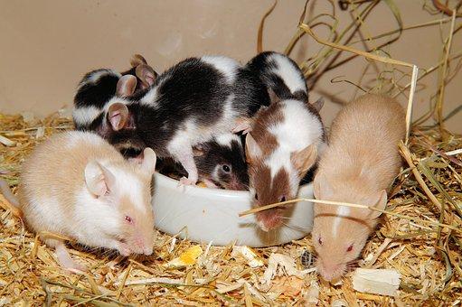 Mice, Farbmäuse, Long Tail Mice, Button Eyes, Tame