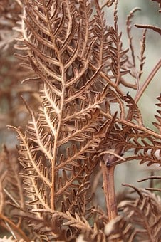 Fern, Dried, Winter, Brown, Flora, Plant, Dry, Nature