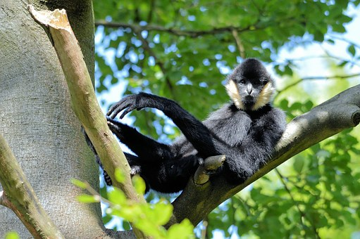 Gibbon, Monkey, Ape, Primate, Animal, Wildlife, Wild