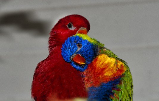 Rainbow Lorikeet, Lori Red, Rainbow Parrot, Parrot