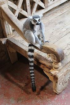 Ring Tailed Lemur, Animal, Zoo, Monkey, Lemur, Mammal