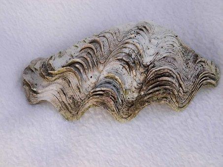 Shell, Oyster, Seashell