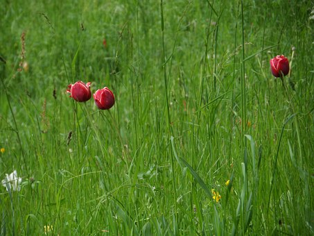 Tulips, Grass, Meadow, Mainau, Spring, Purple, Blossom
