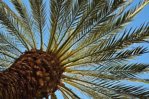Palm, Tree, Date Palm, Shade Tree, Tribe, Log