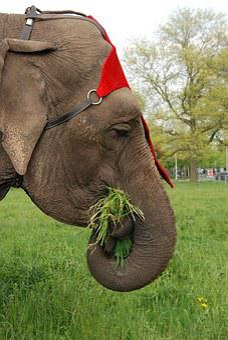 Animal, Elephant, Grass, Food, Tame, Trunk, Mammal