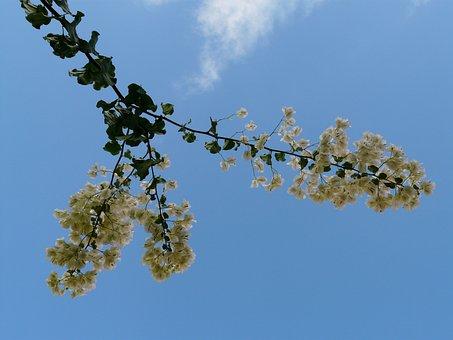 Bougainvillea, White, Sky, Flower, Blossom, Bloom