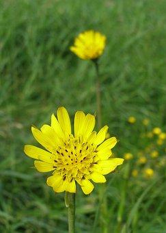 Meadow Salsify, Spring, Flower, Yellow, Flower Field