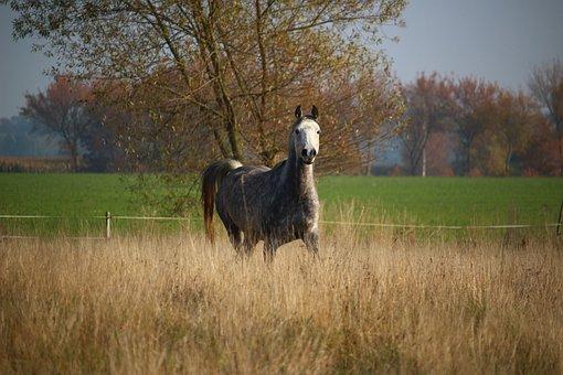 Horse, Mold, Thoroughbred Arabian, Mare, Autumn