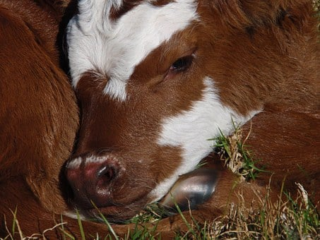 Calf, New Born, Cattle, Stock, Brown, White, Close-up