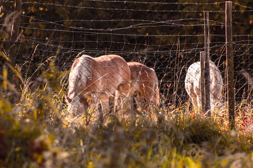 Horses, Eat, Haflinger, Meadow, Fence, Barbed Wire
