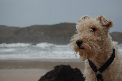Dog, Foxterrier, Animal Portrait, Beach, Celorio